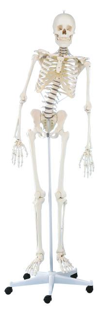 """Erler Zimmer® Skelett """"Hugo"""", beweglich"""