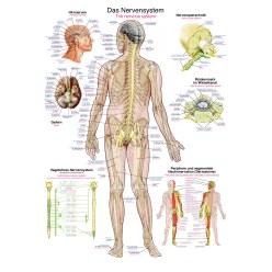 Erler Zimmer Anatomische Lehrtafel Das menschliche Herz